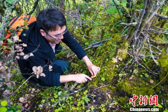"""西藏林芝迎来松茸美食文化旅游盛宴 为游客打造""""奢野之旅"""""""