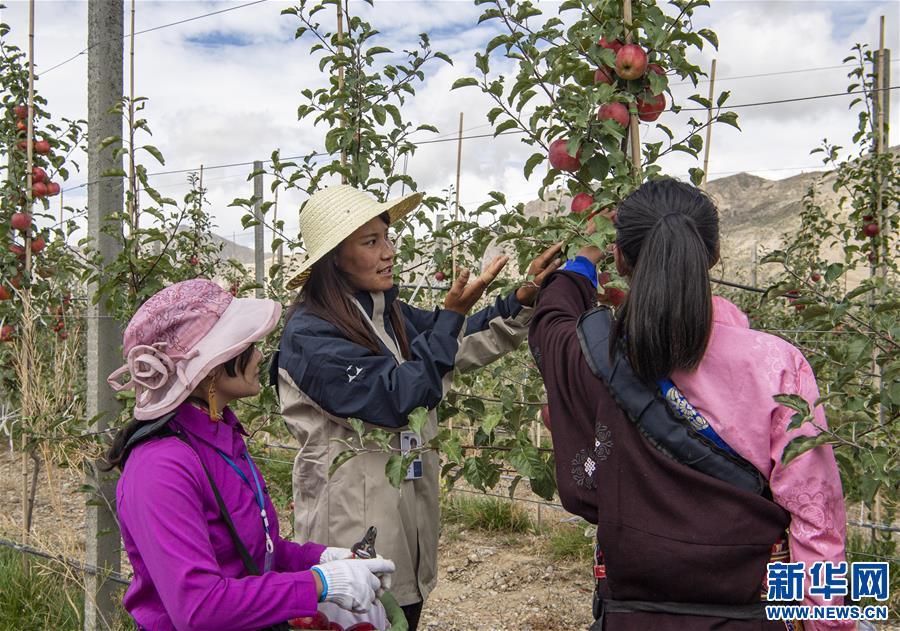 (甘肃快三)(1)西藏山南:生态搬迁点迎来苹果丰收