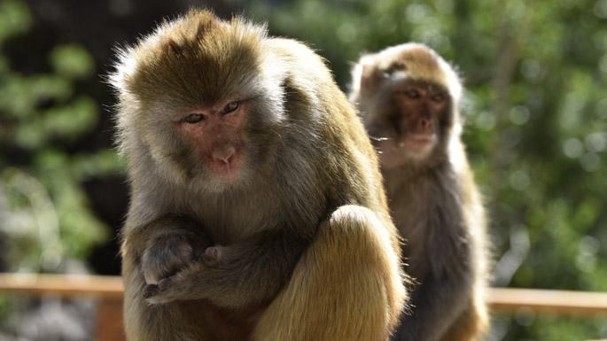 6图 达古景区内的藏猕猴。摄影:王元喜..jpg