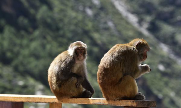 5图 达古景区内的藏猕猴。摄影:王元喜.jpg
