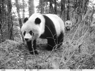 四川黄龙首次拍到野生大熊猫母子同框