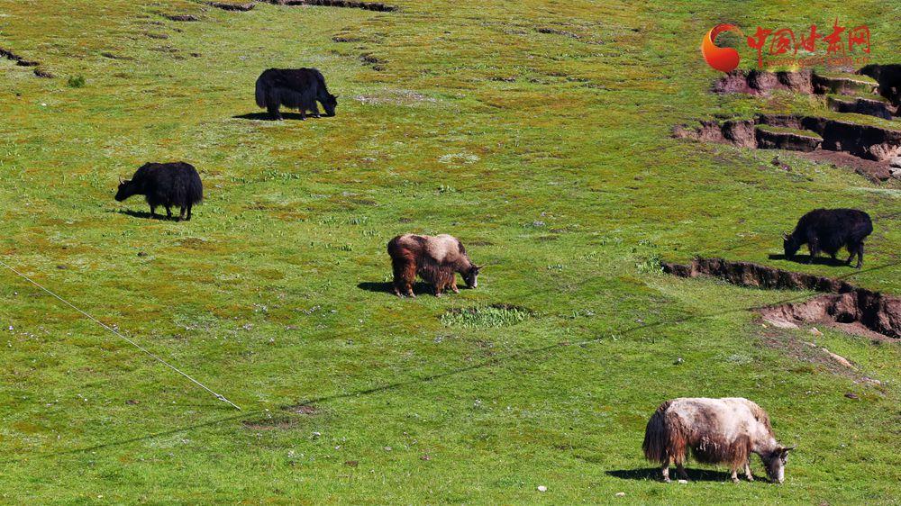 甘肃甘南:牛羊徜徉草原间 风景如画引客来