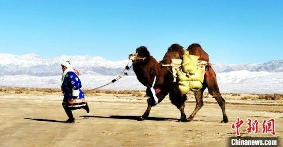 """青海德都蒙古骆驼""""党"""":展现不同的草原风貌"""