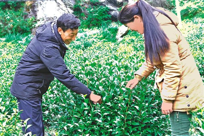 高山茶叶富农家