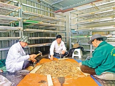 西藏仁布县藏药香产业带动贫困群众稳定就业
