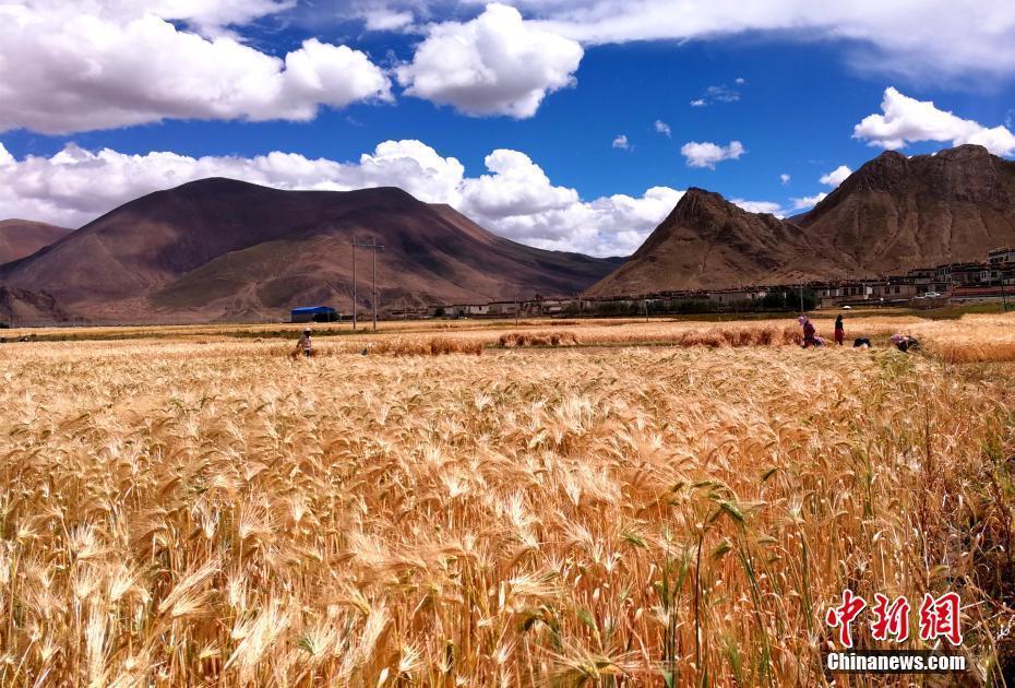 西藏各地青稞进入收割季节