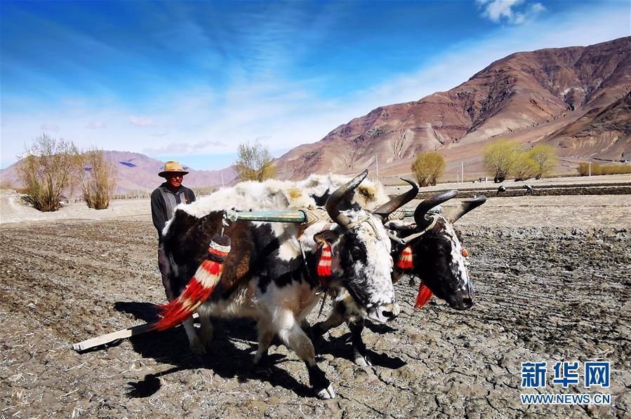 (经济)(3)西藏日喀则:农民春耕忙