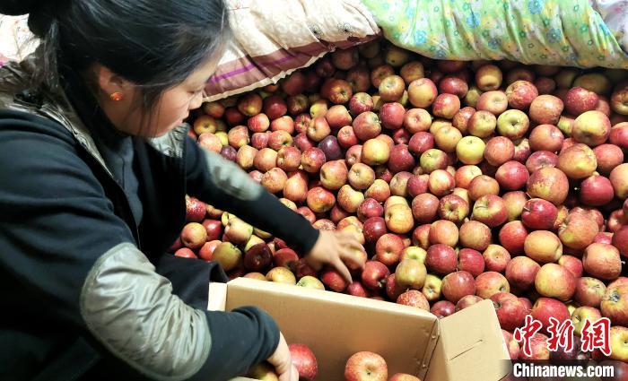 图为通麦村村民巴桑拉姆精心挑选苹果进行装箱。 贡桑拉姆 摄