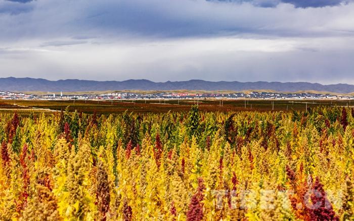 图为天祝藏族自治县3万亩藜麦产业发展