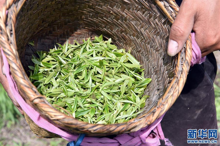 (脱贫攻坚)(7)西藏察隅首批春茶开采