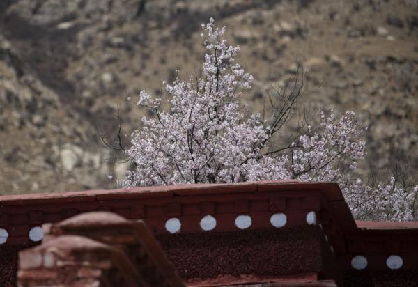 西藏:山寺桃花