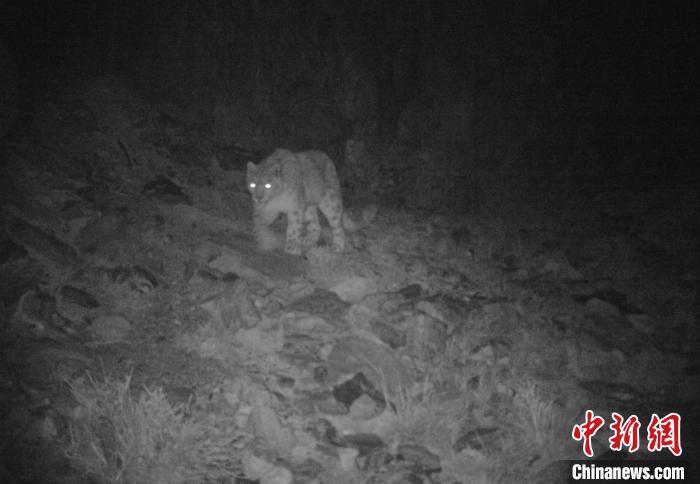 青海可可西里境内首次用红外相机捕捉到雪豹影像