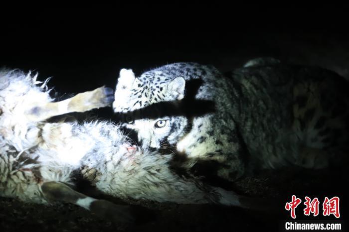 长江源、澜沧江源启动旗舰物种雪豹及栖息地保护项目