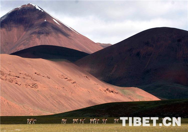 世界海拔最高自然保护区野生动物频肇事