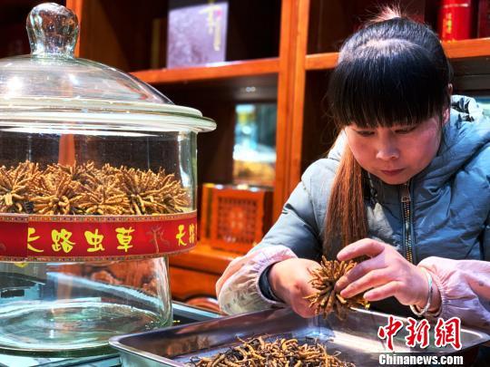 青海冬蟲夏草産量居全國之首潛在經濟價值可觀