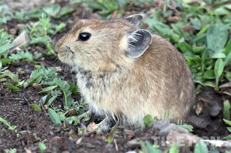 女人嫩穴洞_这是一只出洞鼠兔在外晒太阳(唐召明2019年8月5日摄)