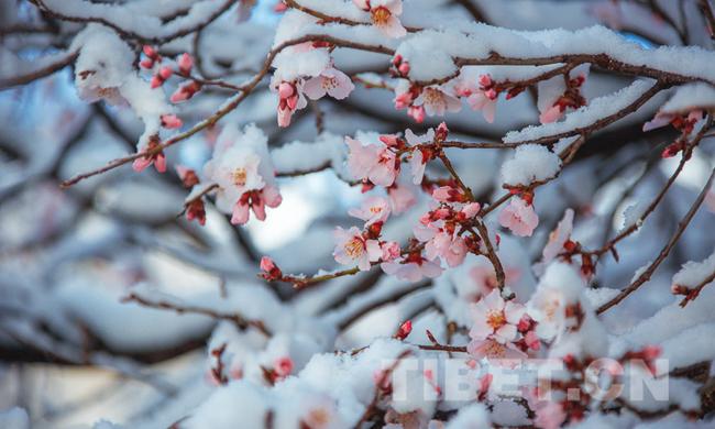 拉萨桃花傲春雪