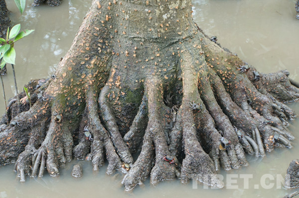 图为大量的螃蟹爬上红树林的树根,据说这种螃蟹是长不大的。