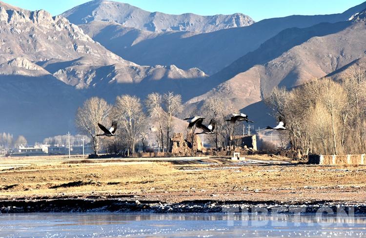 """历时八年,西藏基本摸清陆生野生动物资源""""家底"""""""
