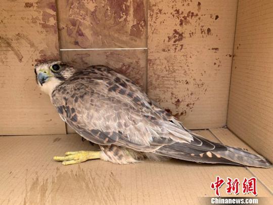 青海省甘德县成功救助国家二级濒危保护野生动物猎隼