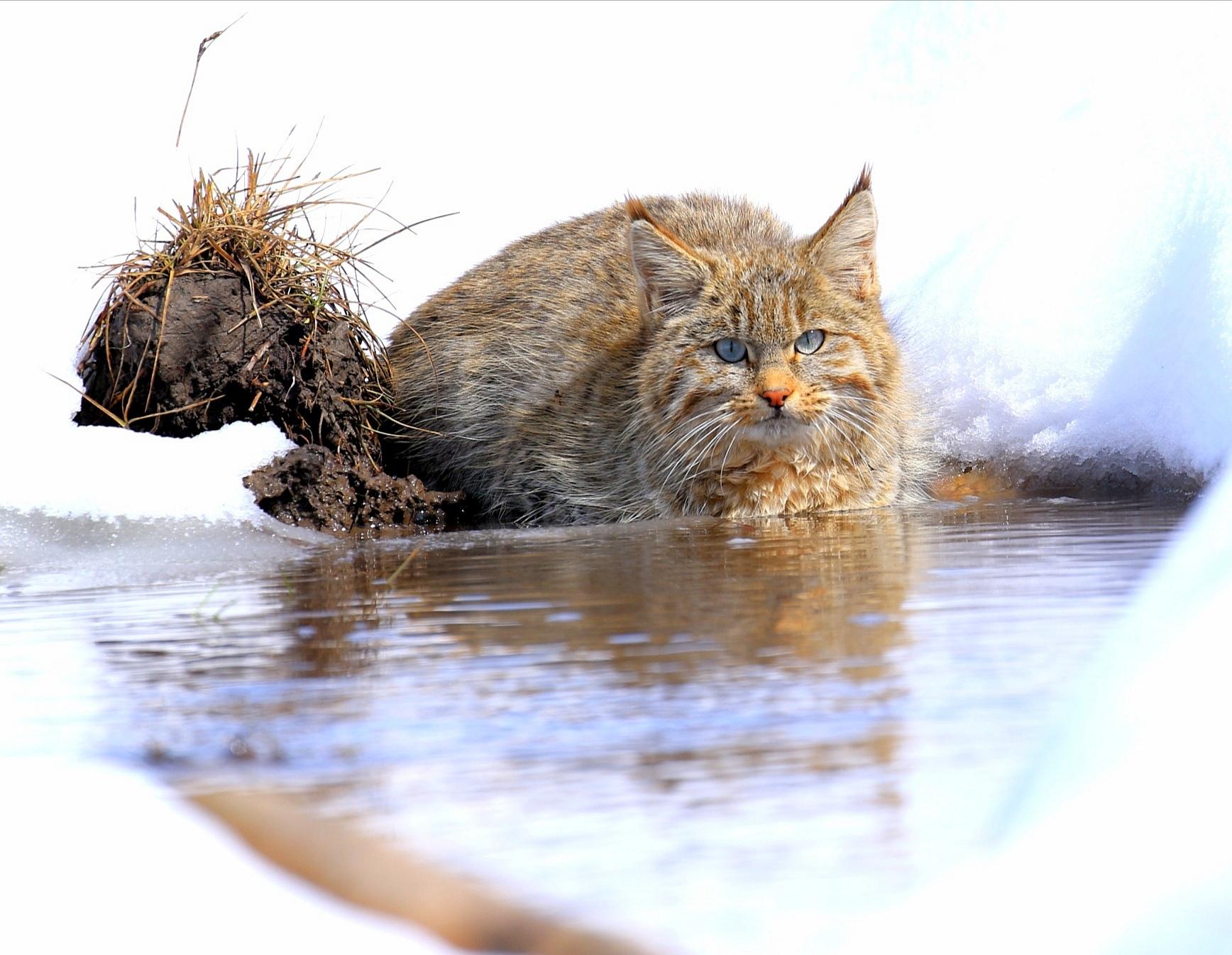 世界最神秘的猫科动物再次亮相祁