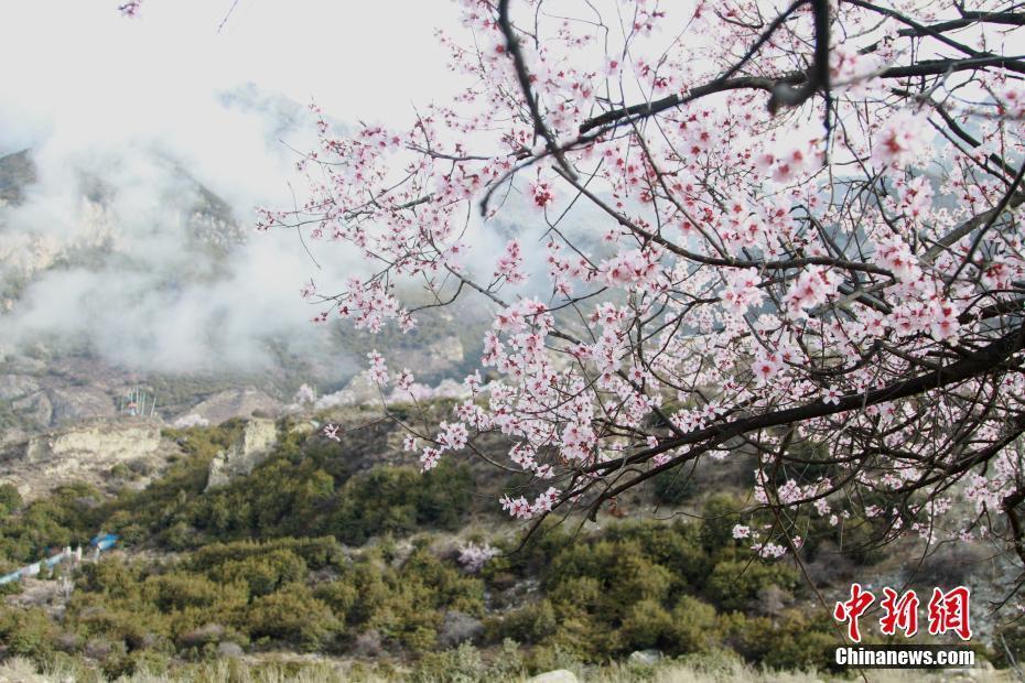 西藏尼屋小镇迎来暖春桃花开