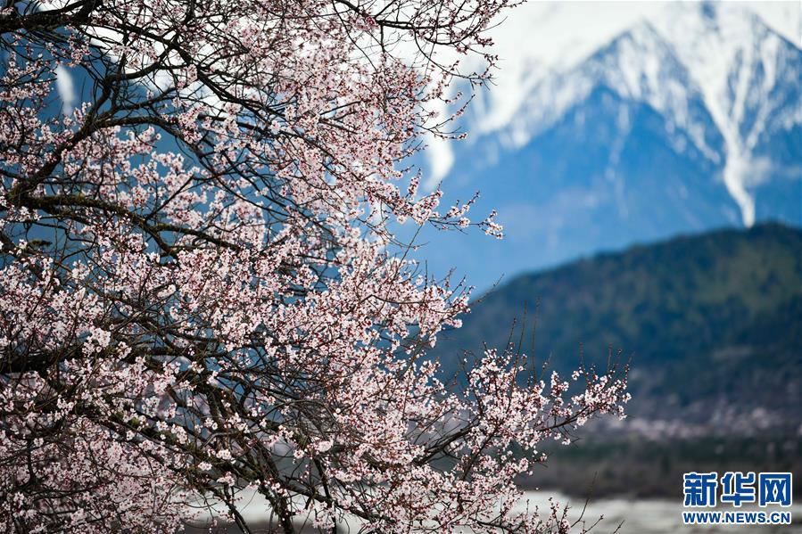 (美丽中国)(4)西藏林芝桃花盛开