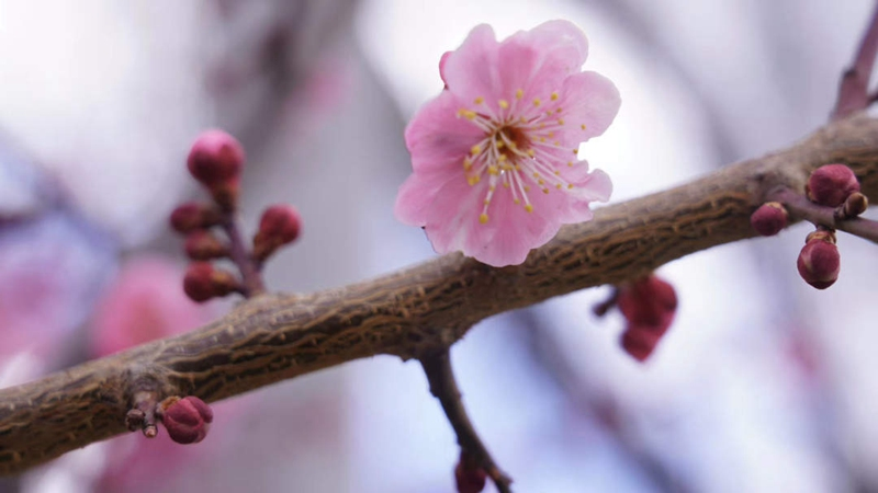 今年三月,我们一起来西藏林芝看桃花