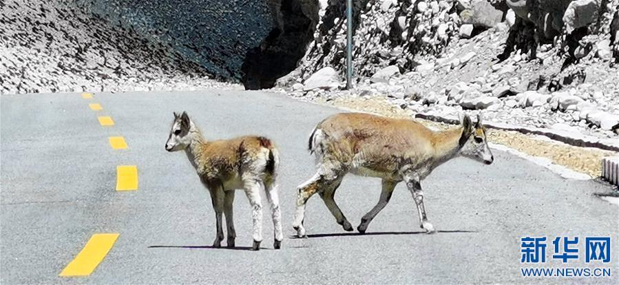 (2020珠峰高程测量)(4)珠峰自然保护区掠影
