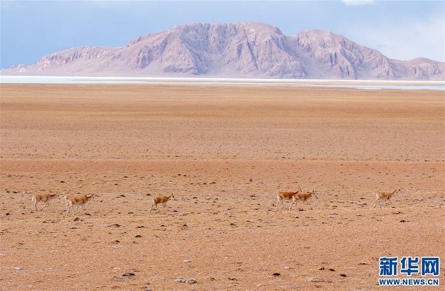 (环境)(3)藏北高原的美丽生灵
