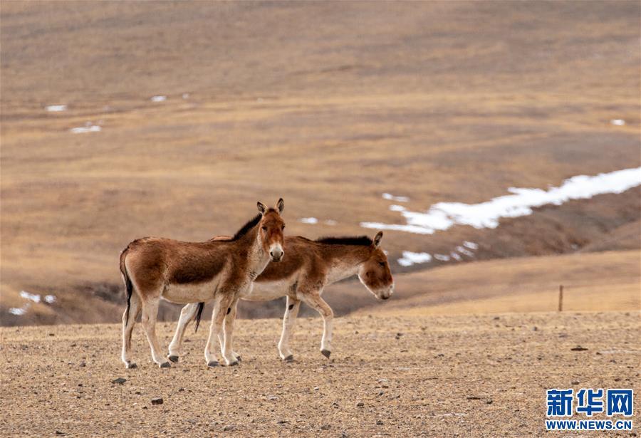 (环境)(5)藏北高原的美丽生灵