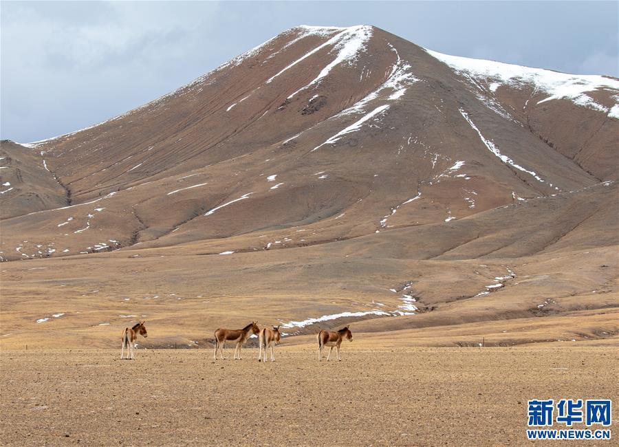 (环境)(6)藏北高原的美丽生灵