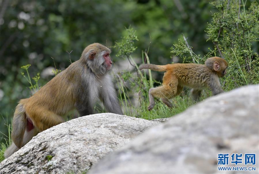(环境)(2)雅鲁藏布江畔藏猕猴