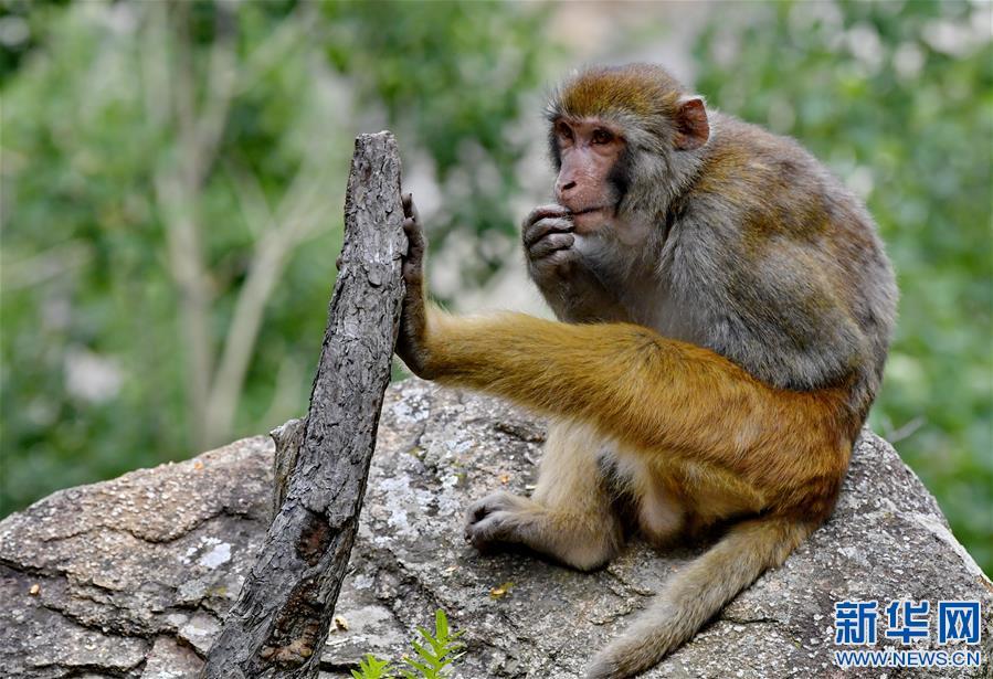 (环境)(4)雅鲁藏布江畔藏猕猴