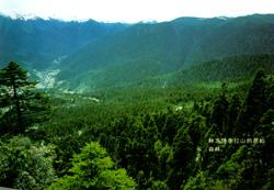 林芝色季拉山的原始森林